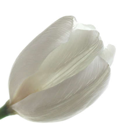 greet: tender white tulip on white background. symbol of purity & candor