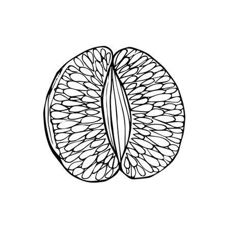Peeled citrus half. Slice of tangerine lemon orange grapefruit hand drawn black outline doodle sketch. Coloring book. Stock vector illustration isolated on white background.
