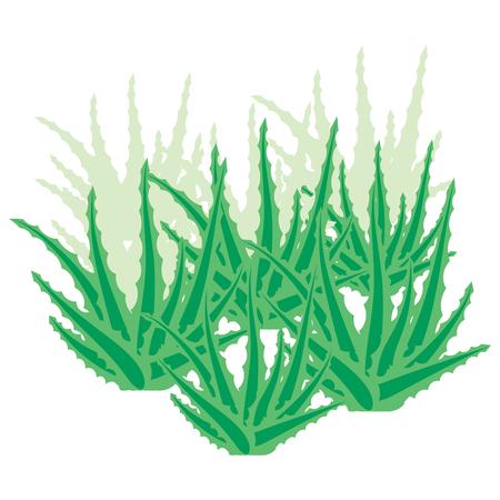 Aloe vera bush, succulent plant, flower isolated on white background. Overgrown aloe vera. Vector illustration. Illustration