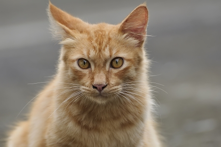 squinting: Red cat squinting in the blur background Stock Photo