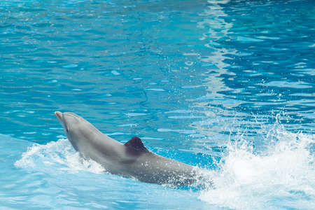 dolphin jumping in an exhibition splashing water Stock Photo