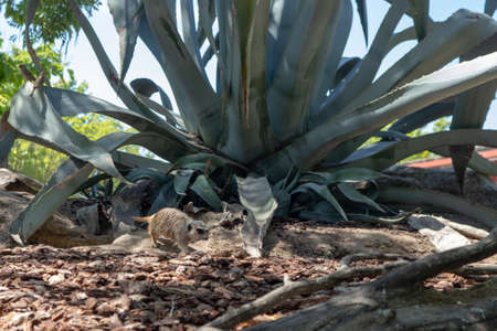 Mexican blue agave, plant characteristic of tequila.