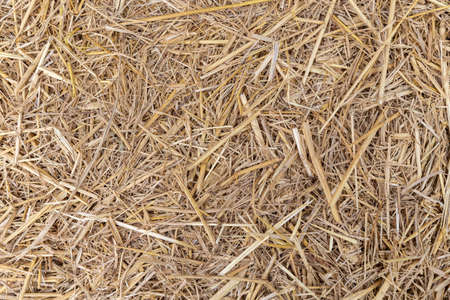 Close up of dry yellow straw grass background texture.