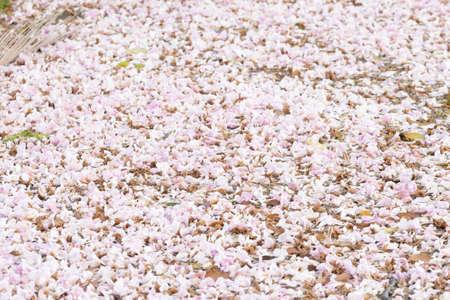 """Fleur trompette rose """"Chompoo Pantip"""" au-dessus de la rivière, arrière-plan. Banque d'images"""