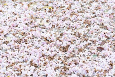 """Fleur trompette rose """"Chompoo Pantip"""" au-dessus de la rivière, arrière-plan."""
