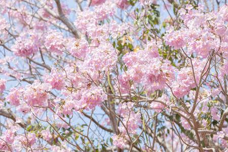 full of Tabebuia rosea pink trumpet tree Chompoo Pantip in Thailand. 版權商用圖片