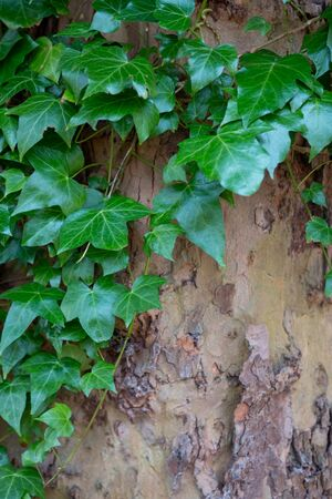 English Ivy aka Hedera Helix growing on massive tree trunk close up leaves.