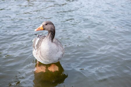Greylag goose standing in water.