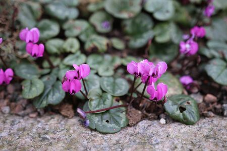 Cyclamen Parviflorum the small-flowered cyclamen is a perennial growing from a tuber, native to Alpine Tundra.