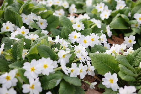White flowers of common primrose. Spring Gardening Primula Vulgaris. Imagens