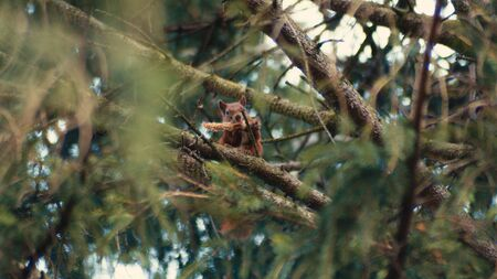 Red Squirrel Eating Food Up On A Pine Tree In A Forest.
