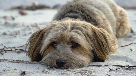 Cute Dog Puppy Resting On The Sandy Beach, Havanese Bichon Dog Breed.