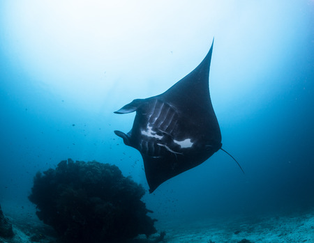 black manta ray at raja ampat