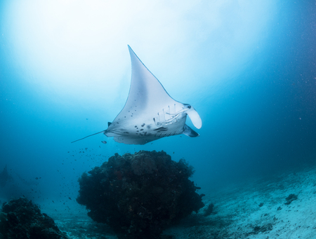manta ray at raja ampat Stock Photo