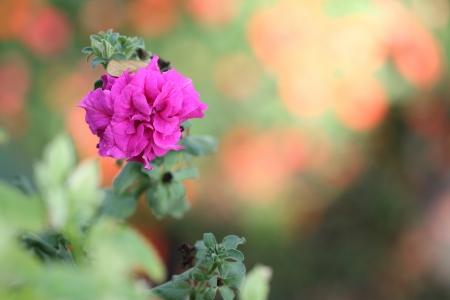 Adenium Obesum Pink Stock Photo - 25455893