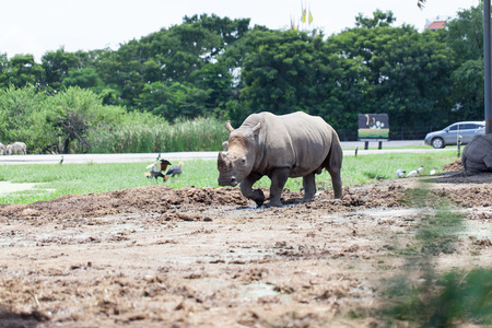 A White Rhinoceros calf in zoo photo