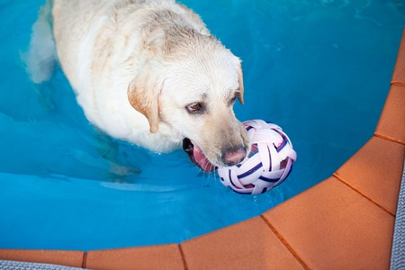 labrador at a local public pool photo