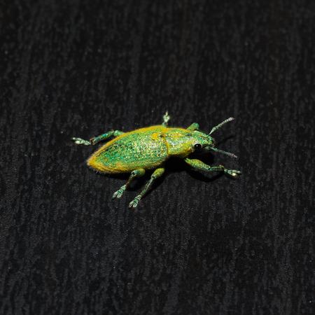 weevil: macro of green weevil