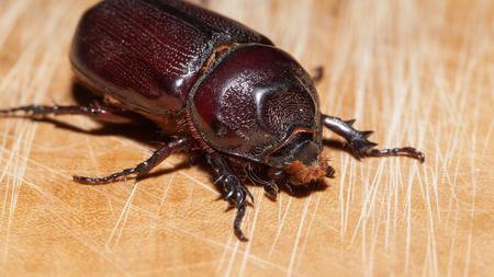 horn beetle: Macro Beetle,Rhinoceros beetle, Rhino beetle, Hercules beetle, Unicorn beetle, Horn beetle (Dynastinae) Stock Photo