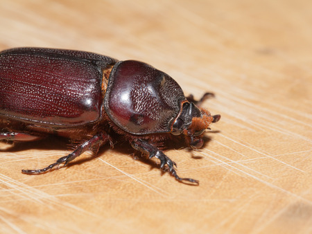 long horn beetle: Macro Beetle,Rhinoceros beetle, Rhino beetle, Hercules beetle, Unicorn beetle, Horn beetle (Dynastinae) Stock Photo