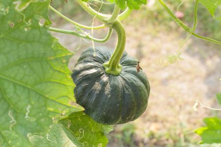 The green pumpkin grows on a kitchen garden