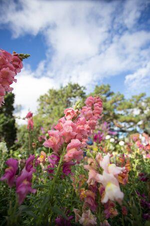purpurea: Pink flowers of Foxglove (Digitalis purpurea) Stock Photo