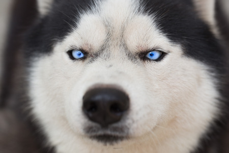 polar life: Close up on blue eyes of a dog