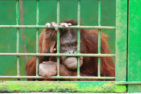 cage gorilla: sad orangutan locked in cage