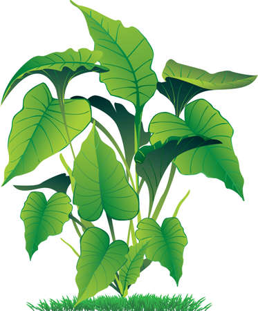 vector illustration of caladium leaves isolated on white