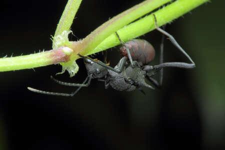 exoskeleton: Macro photo of big black ant with armored exoskeleton Stock Photo