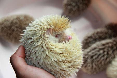 albino: White albino Hedgehog pet lying in human hand