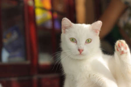 cute kittens: Cute white cat kitten portrait showing its paw over blurred red background Stock Photo