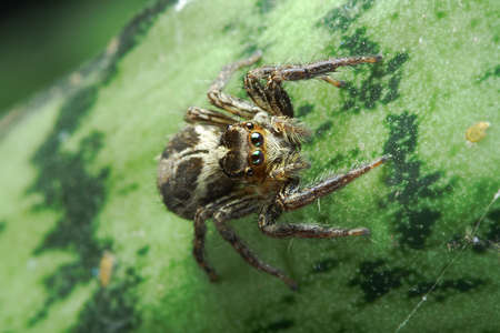 jumping spider: Macro photo of Jumping Spider on wild green leaf