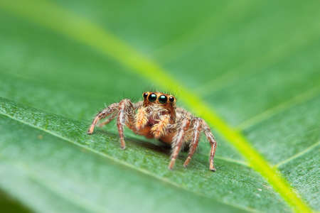 jumping spider: Macro photo of Jumping Spider on fresh green leaf