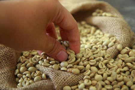 gunny: Hand picking raw coffee beans in gunny sack Stock Photo