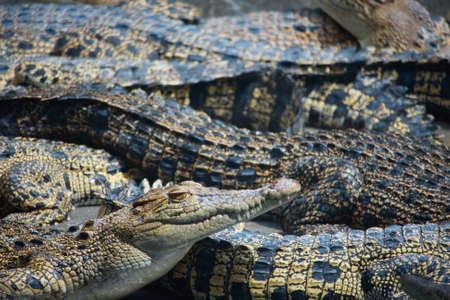 animal photo: Animal photo, image of young crocodiles sunbathing in croc farm, crocodylus porosus