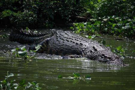 crocodylus: Wildlife photo, image of big crocodile swimming in lake, crocodylus porosus