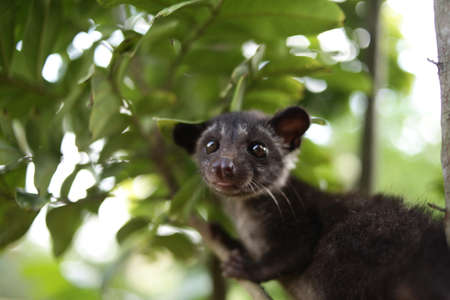 Close up image of civet cat on tree branch, animal in nature day light