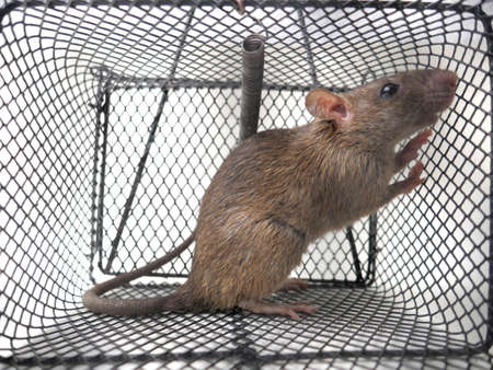 Close up image of rat in trap, mouse trapped in cage over white background
