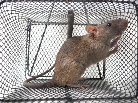 Immagine ravvicinata di ratto in trappola, topo intrappolato in gabbia su sfondo bianco