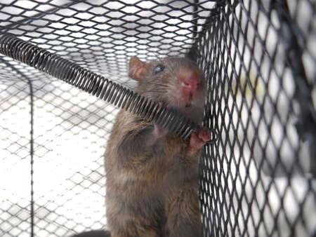 Gros plan image de rat dans un piège, souris piégée dans une cage sur fond blanc Banque d'images