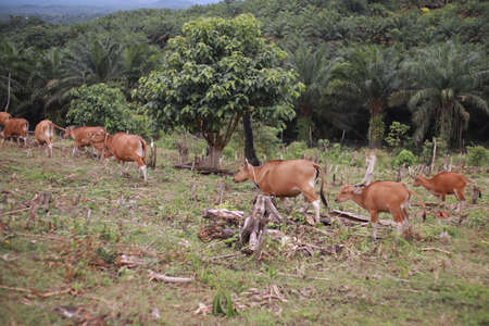 Domesticated cattle ox cow bull banteng sapi bos javanicus eating grass on field, organic beef farm in Indonesia