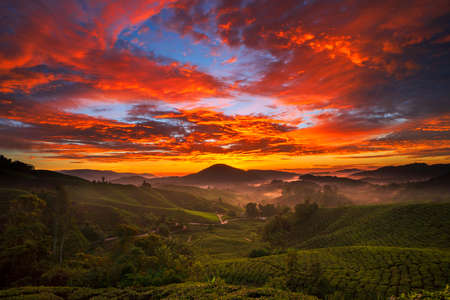 Cameron Highland Tea Plantation.Sunrise.