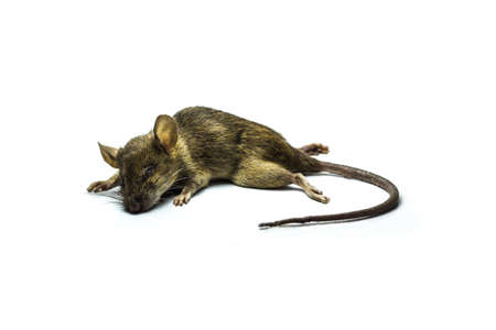 Close up shot of Dead rat on isolate background photo