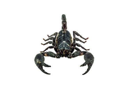 poisonous insect: Close up shot scorpion on isolate white background.