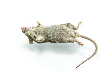 Close up shot dead rat on isolate white background. photo