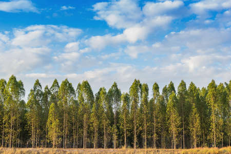 Eucalyptus tree forest in Thailand, plants for paper industry. photo