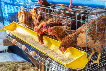poultry: Red chickens in cell section eating feed.