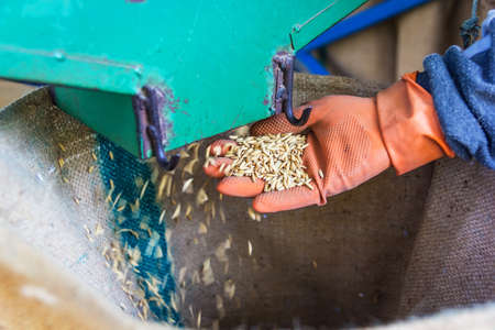 conveyors: Close up shot rice from mill machine drop on hand in a sack.