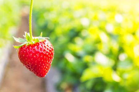 fresh strawberries: Close up shot strawberry with planting strawberry background Stock Photo